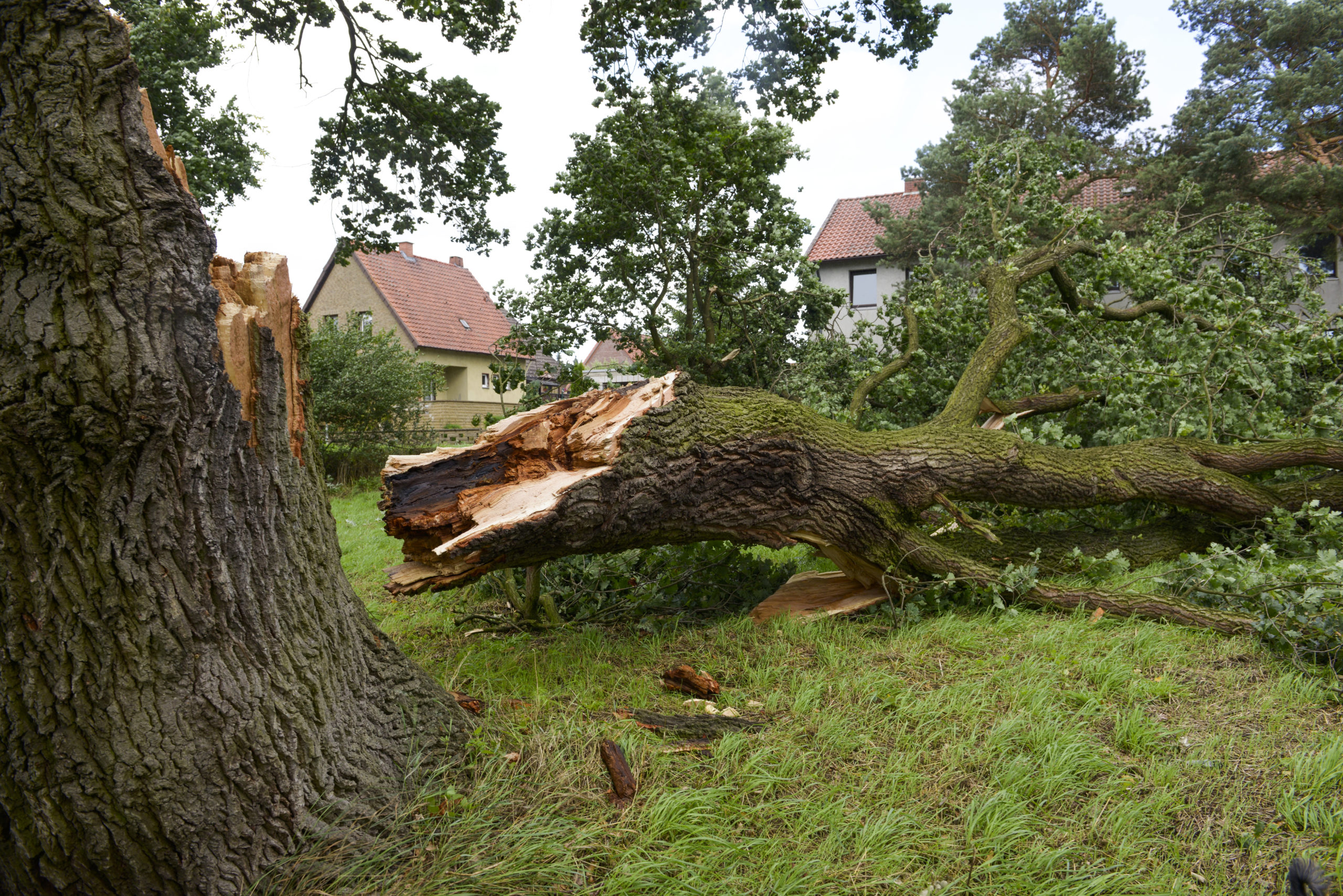 Storm damage, tree uprooted