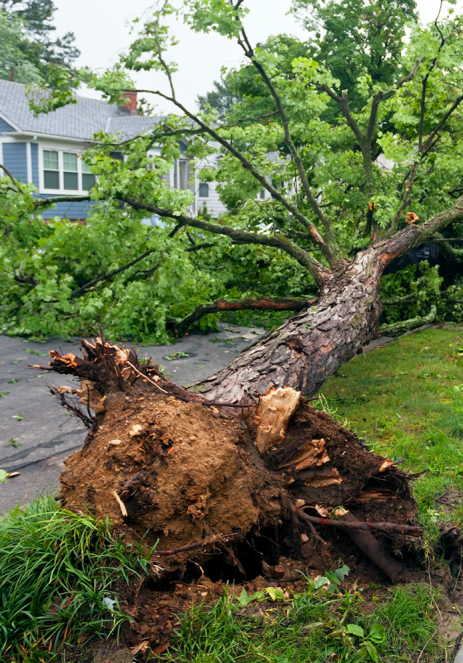 Tree uprooted by storm